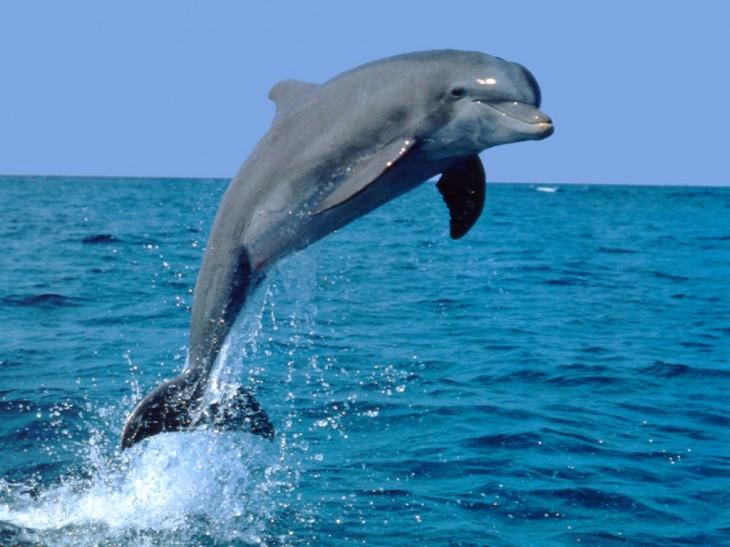 Coloriage d un dauphin gratuit imprimer et colorier - Dauphin a imprimer ...