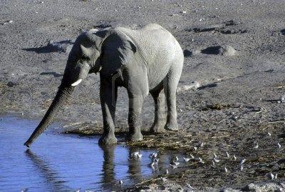 Eléphant d'afrique boit de l'eau