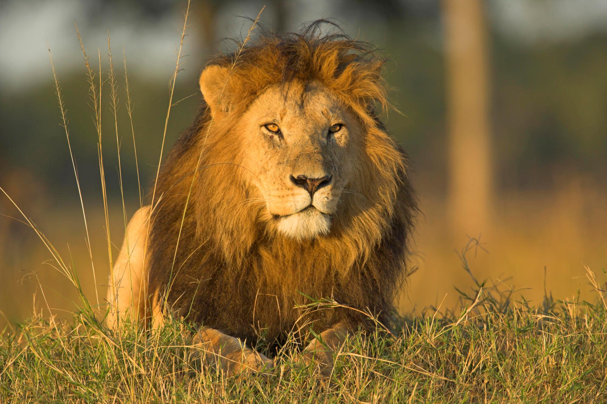 Fond d cran lion for Immagini leone hd