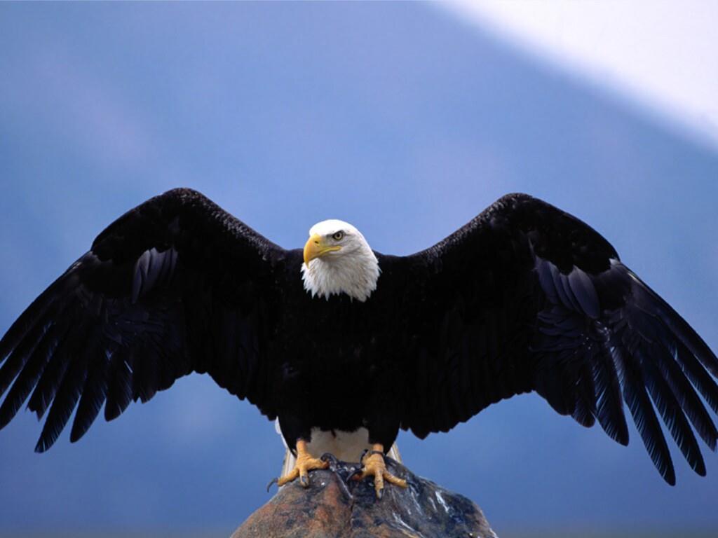 Coloriage aigle se pose terre imprimer et colorier - Dessin d aigle royal ...