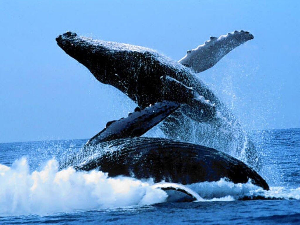 Baleines bleues wallpaper