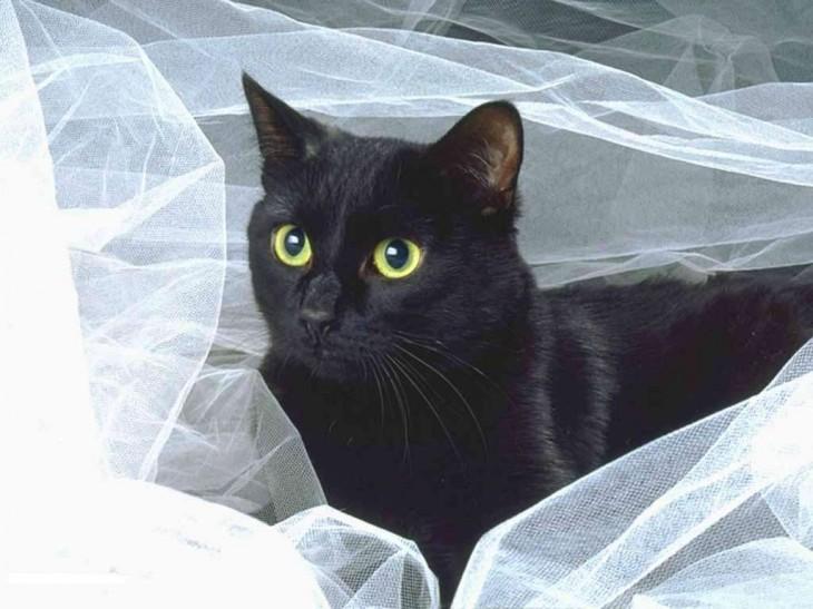 Chat noir yeux jaune