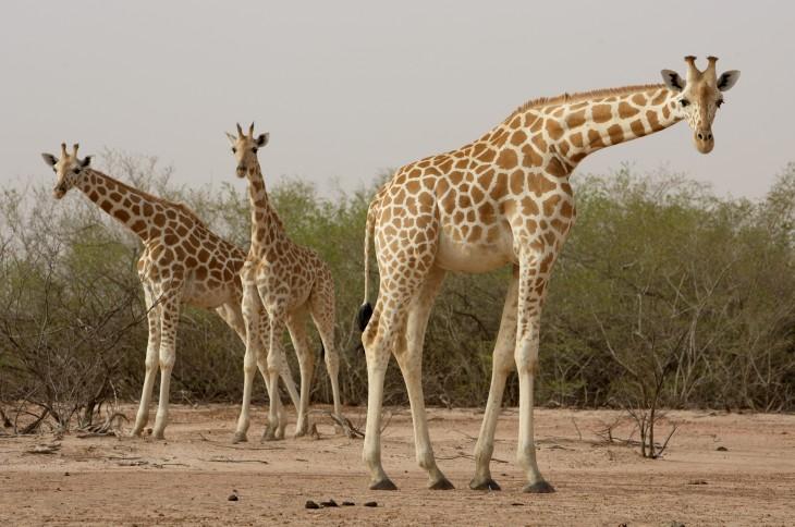 Coloriage girafe mignonne imprimer et colorier - Girafe a imprimer ...