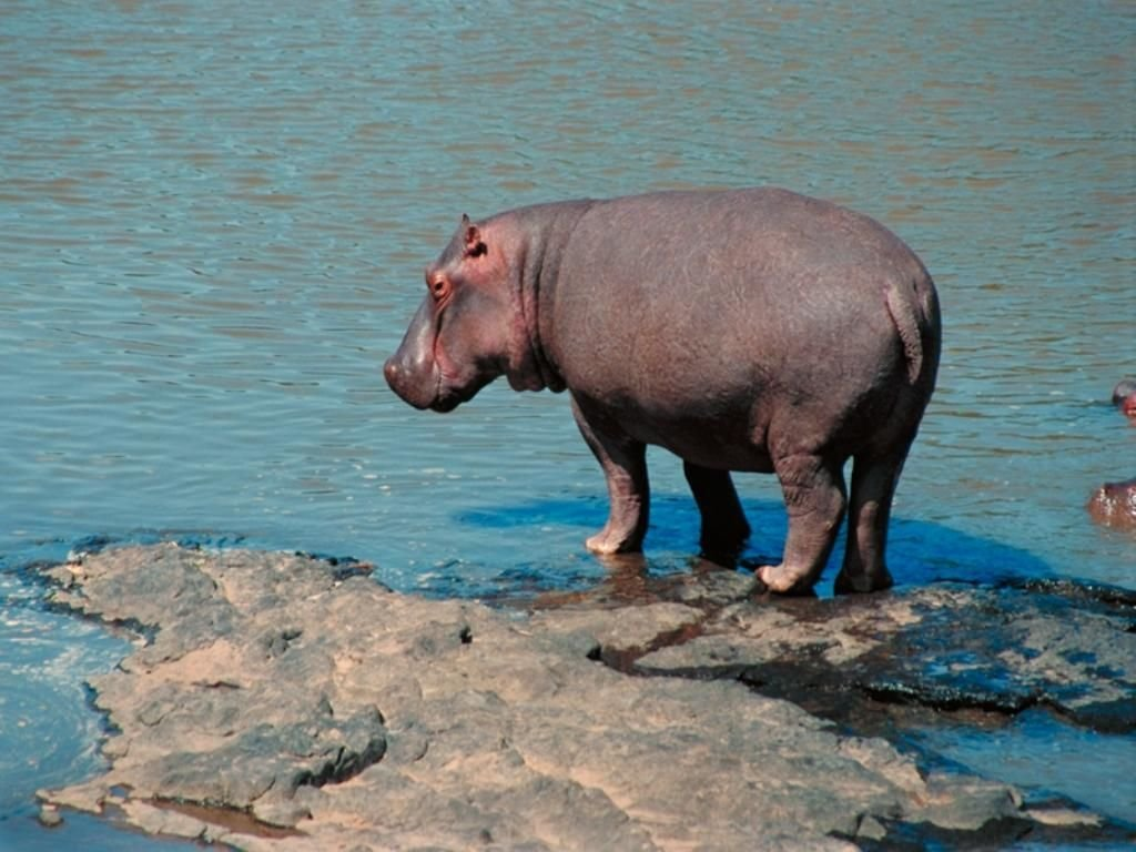 Hippopotame au bord de l'eau