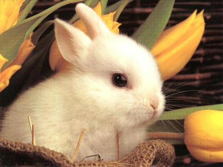 Lapin blanc mignon