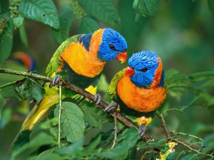 Oiseaux bleu orange et vert