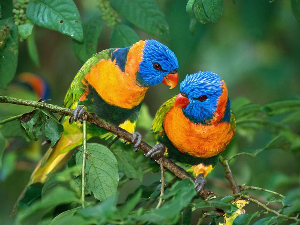 Oiseaux bleu orange et vert for Oiseau bleu et orange