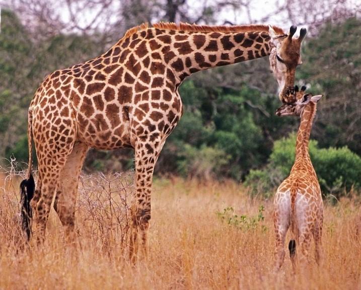 Girafon et Girafe