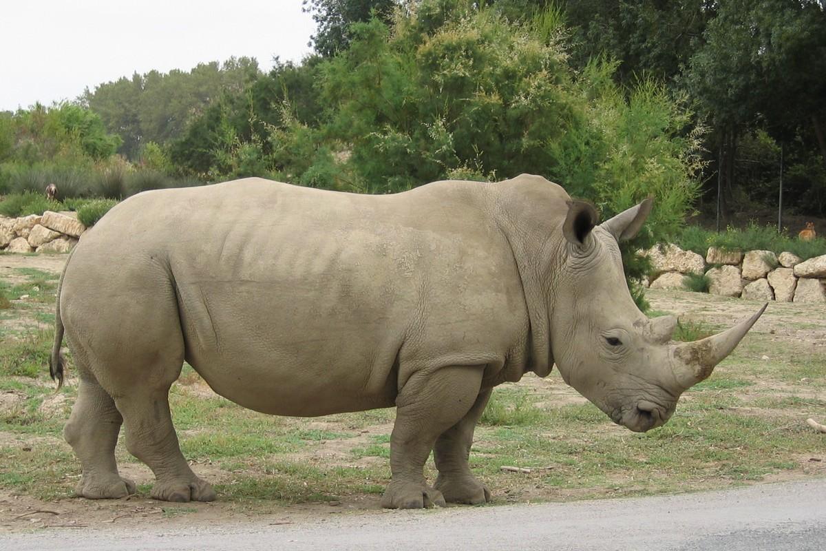 Coloriage rhinoc ros enfant imprimer et colorier - Rhinoceros dessin ...
