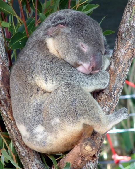 Koala dort