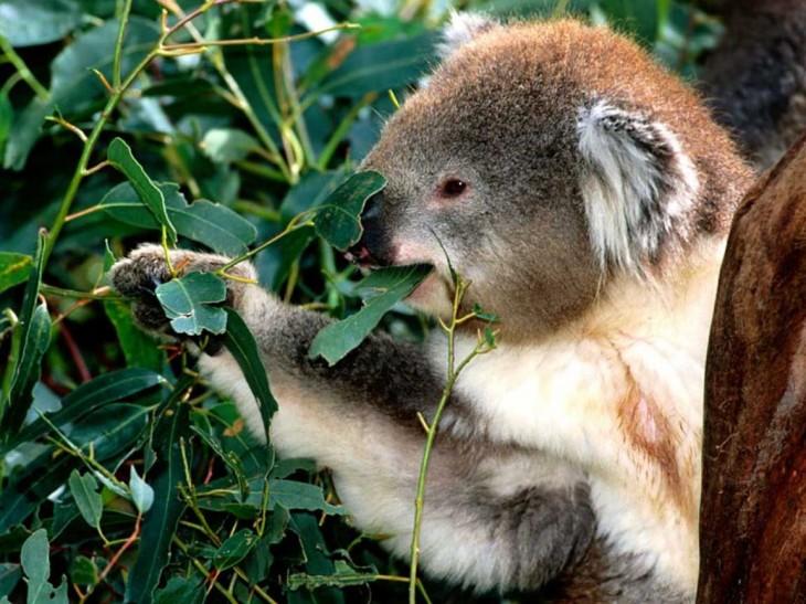 Koala mange des feuilles