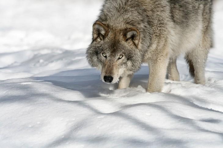 Loup gris dans la neige