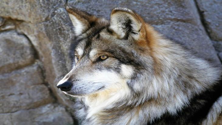 Loup gris Wallpaper