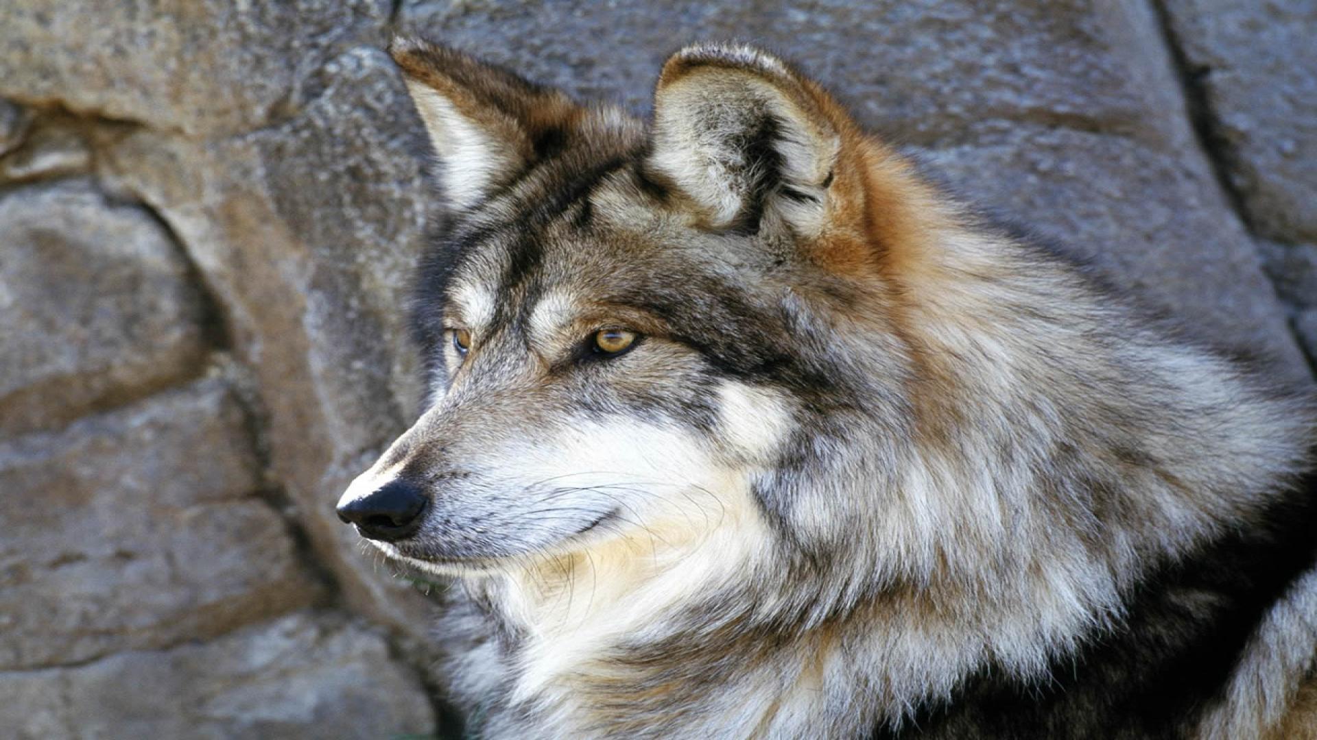 Coloriage loup gris à imprimer et colorier