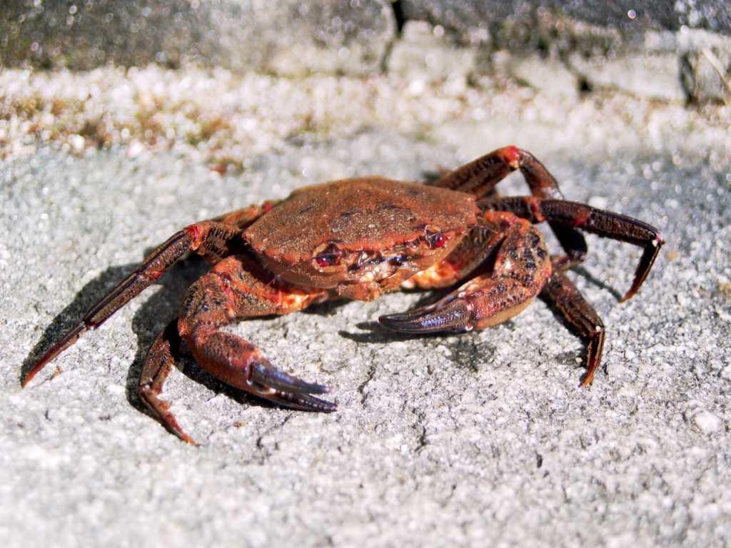 Coloriage Crabe gratuit à imprimer