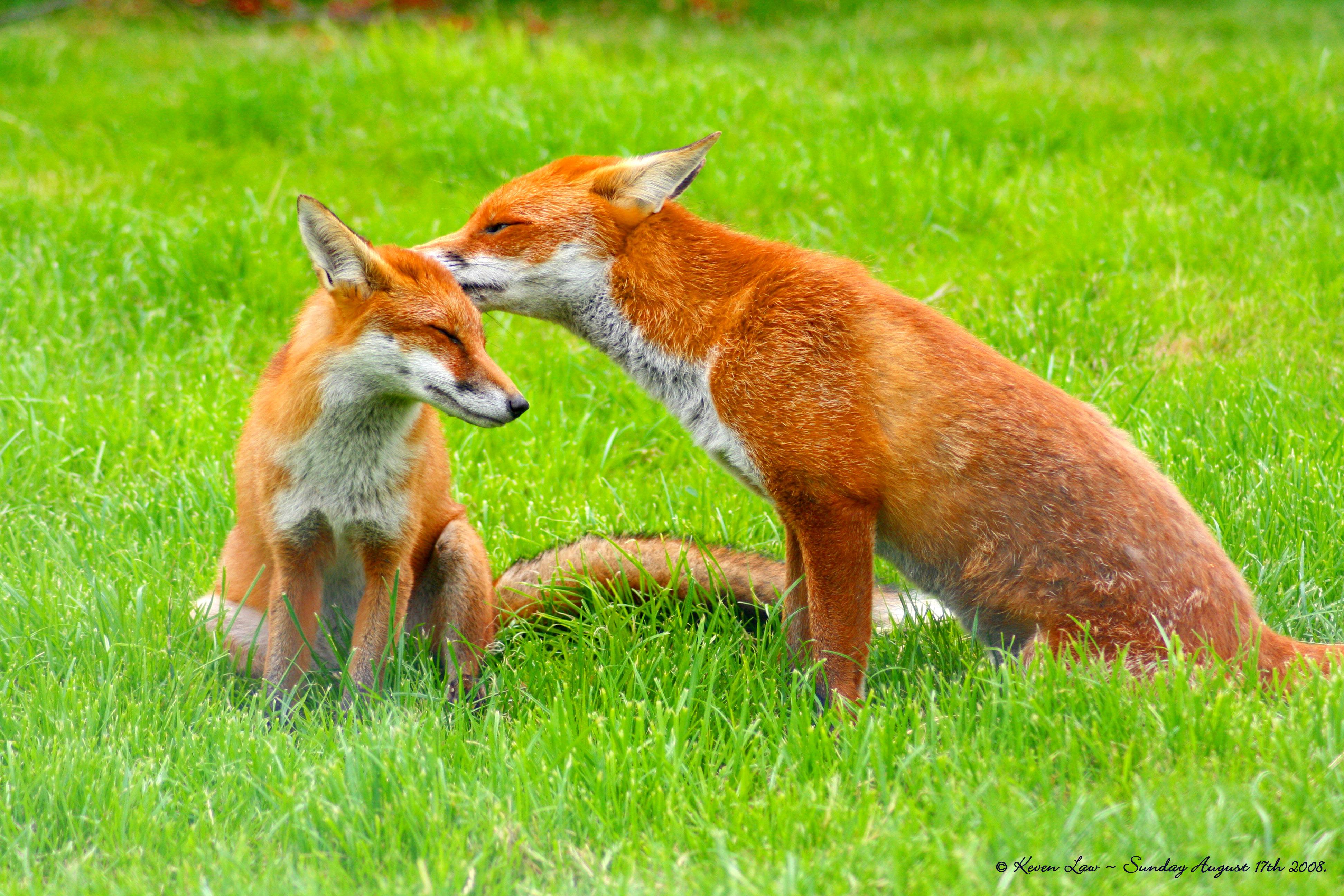 Coloriage renard imprimer et colorier - Coloriage renard a imprimer gratuit ...