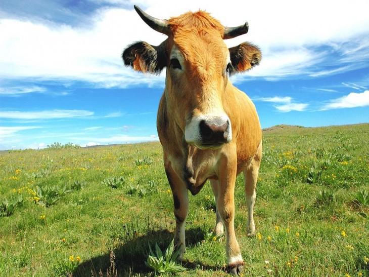 Vache tête