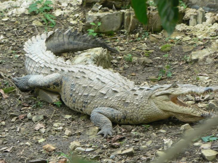 Crocodile sur terre
