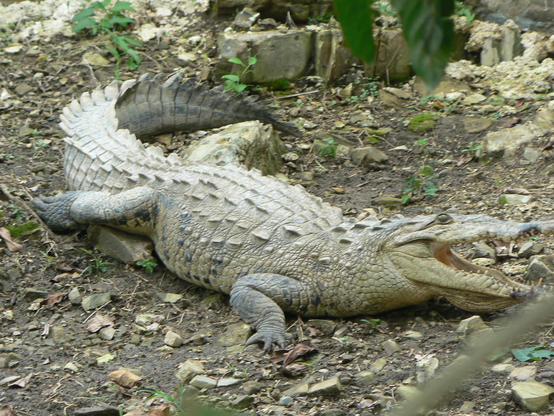 Coloriage Gratuit Crocodile.Coloriage Crocodile A Imprimer Et Colorier