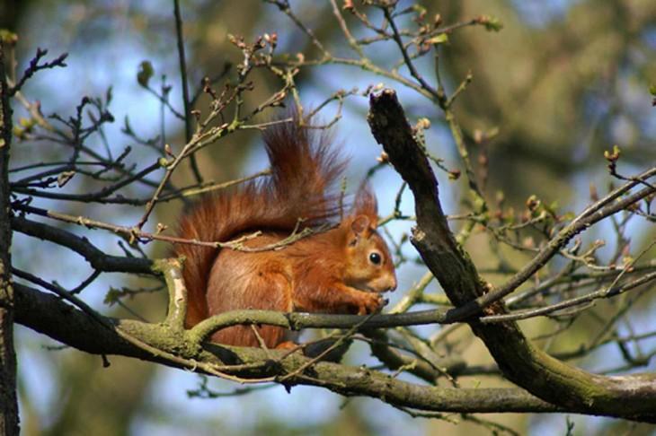Écureuil roux dans un arbre