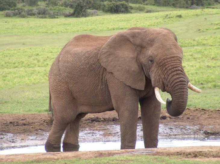 Éléphant adulte