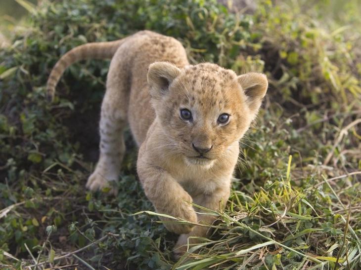 Bébé tigre mignon