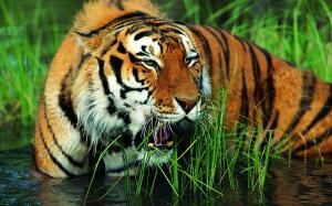 Tigre fond d'écran