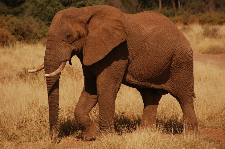 Elephant marron d'Afrique