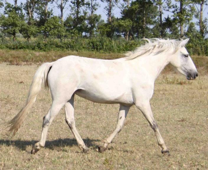 Cheval blanc Carmague