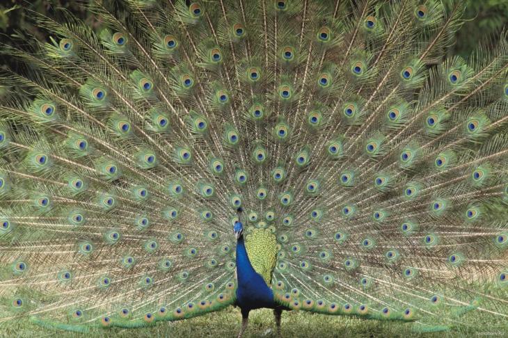 Paon plume bleue
