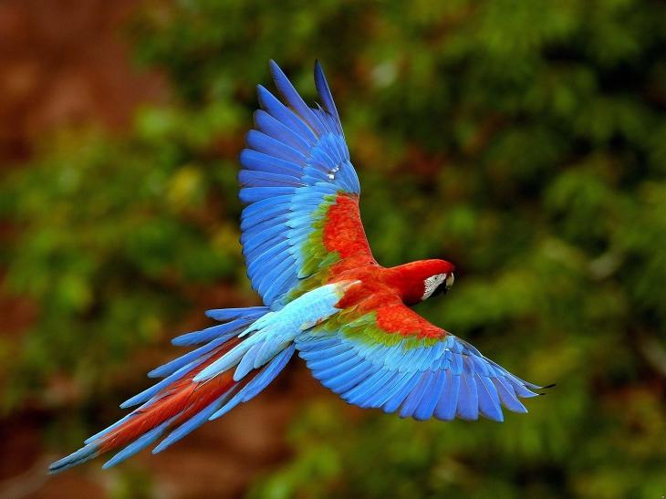 Perroquet Ara en plein vol
