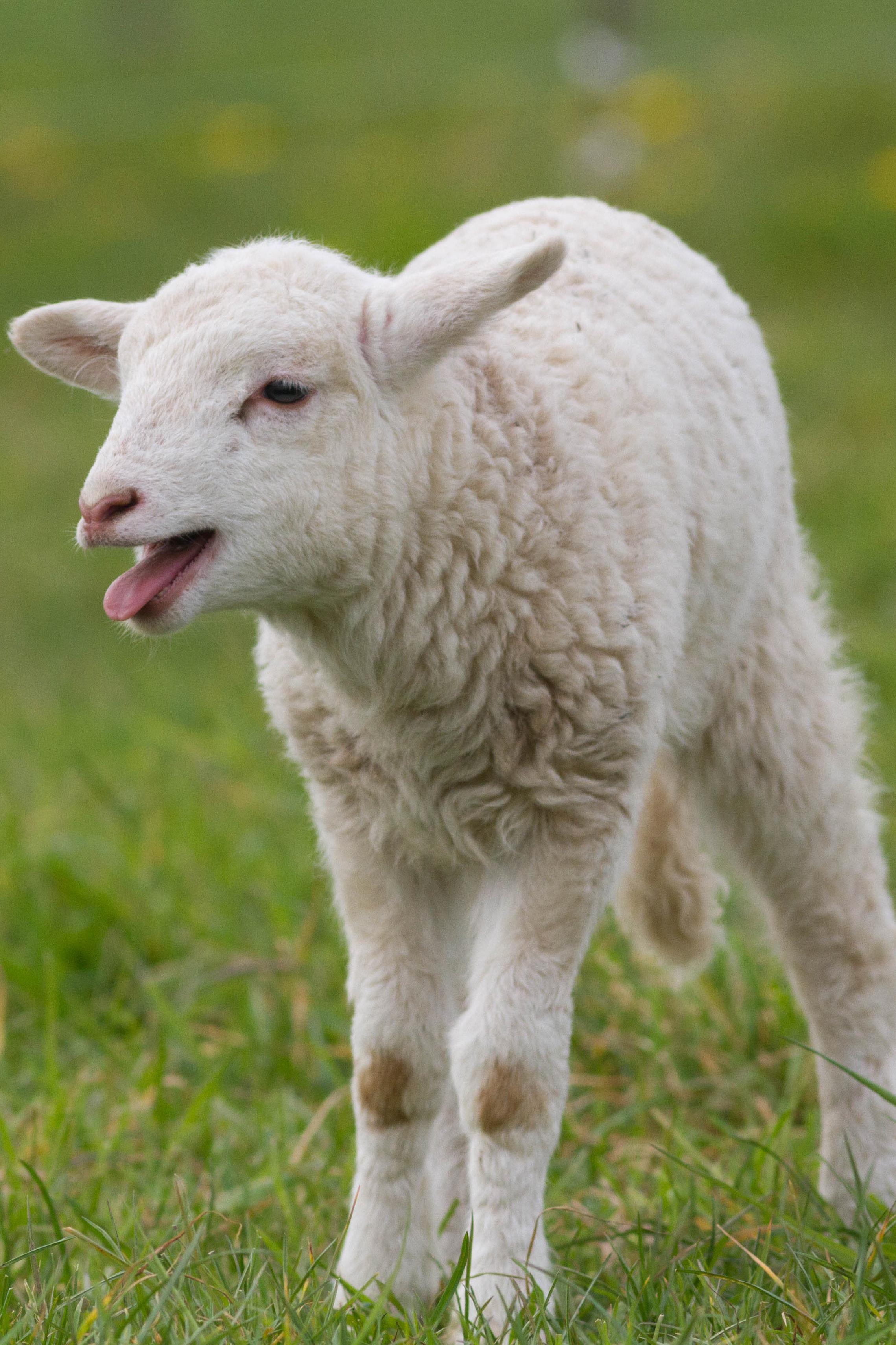 Coloriage agneau gratuit imprimer - Coloriage agneau ...
