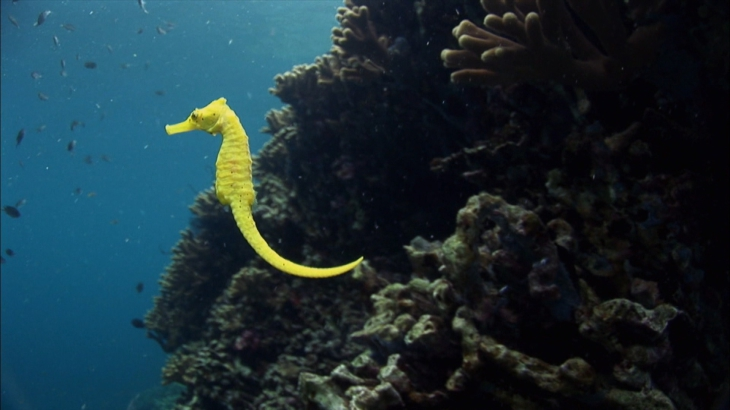 Hippocampe jaune